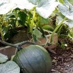 Die dümmsten Bauern haben die dicksten Melonen