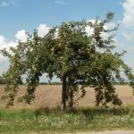 Obstgehölze schneiden 1,2 und 3 – die Theorie in Frage und Antwort
