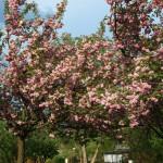 Sakura-Campaign – Kirschblüten für Berlin